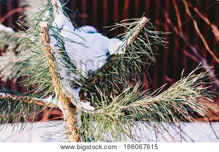 Pine branches in the snow. Nature green