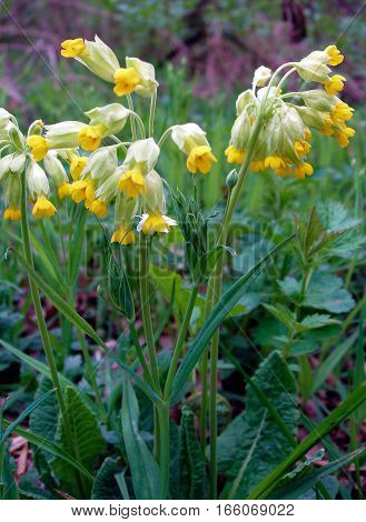 Flowers of cowslip (Primula veris) in the spring