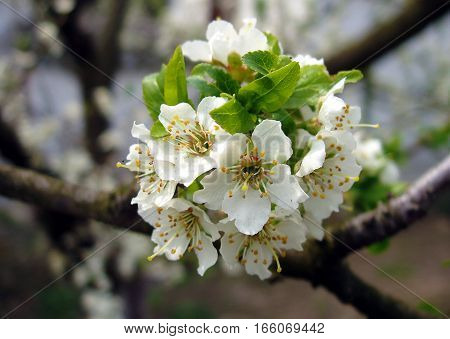 Fresh flowers of cherry tree in the spring