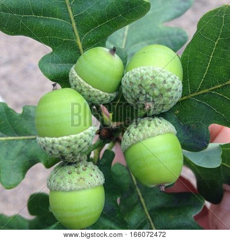 beautiful picture of nature: a twig of oak tree with green leaves and young acorns