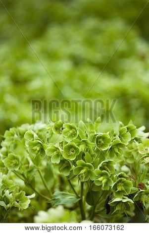 Stinking Hellebore, plant, green image, vertical image