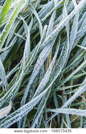 Close up of early morning frost on grass and leaves