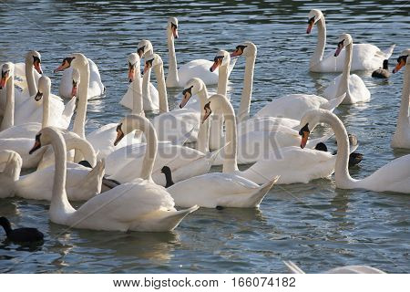 Group Of Swans Floating Near To Shore With Ducks