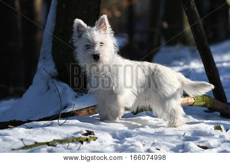Four months old West Highland White Terrier posing for a photo