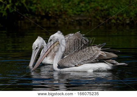 Two juvenile pink-backed pelicans looking for food in their natural habitat
