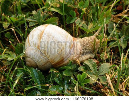 One Snail Walking Slowly on Green leaves and Grasses