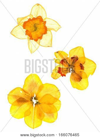 dry narcissus perspective flowers and petals of jonquil isolated on white background
