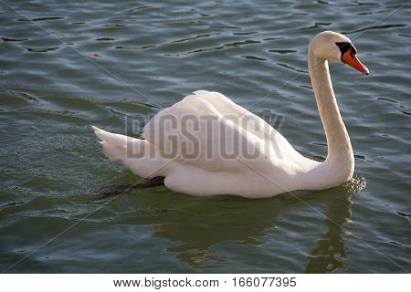 Graceful white mute swan swimming on lake summertime in sunset
