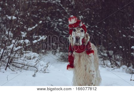 Adorable spotty furry white dog staying on white christmas background, wearing red hat and scarf, fashinable look, funny serious look