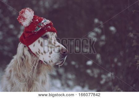 Christmas textured background in vintage style: english setter in stylish red hat, white spotty dog portrait