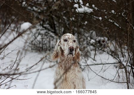 English setter on white snow background, winter forest and purebred white dog with long hair and brown spots