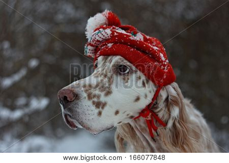 Christmas fashion and style, white spotty dog english setter wearing red vintage hat