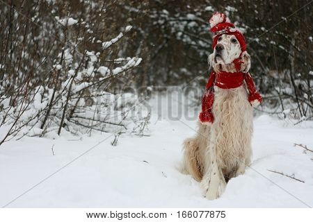 English setter sitting on white snow in winter forest, cute white furry dog of hunting breed wearing red hat and scarf, fashion and style