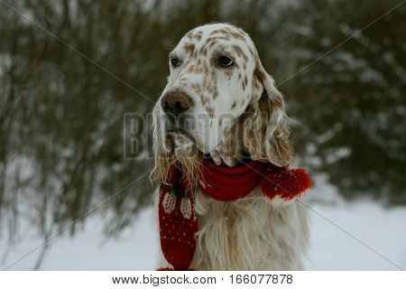 Serious dog face: english setter portrait, white brown spotty dog of hunting breed wearing scarf on cold winter background