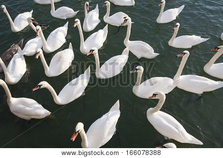 Group Of Beautiful Young Swans Floating Near To Shore