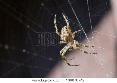 Spider garden-spider (lat. Araneus) in the web