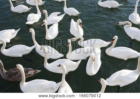Picture from above white swans near to shore