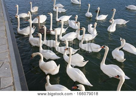 Panoramic view from above white swans cygnus olor