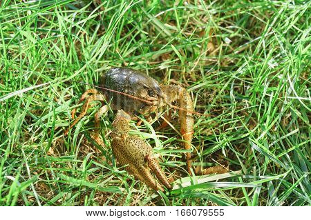 Shirokopalyj crayfish (lat. Astacus astacus) is a species of decapod crustacean of the infraorder Astacidea - in the grass.