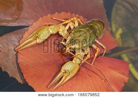 Shirokopalyj crayfish (lat. Astacus astacus) is a species of decapod crustacean of the infraorder Astacidea - in a pond on a red sheet of water lilies (lat. Nymphea)