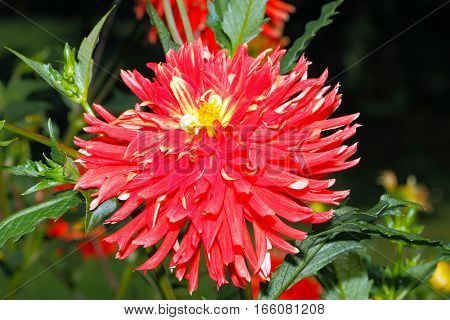 Blooming Dahlia in a garden in late summer