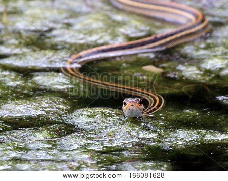 Gulf Coast Ribbon Snake - Thamnophis proximus orarius