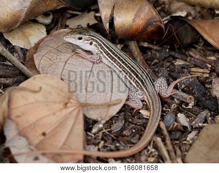 A Texas Spotted Whiptail lizard (Aspidocelis gularis)