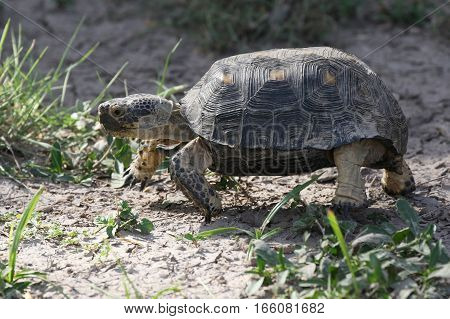 An endangered Texas Tortoise - Gopherus berlandieri