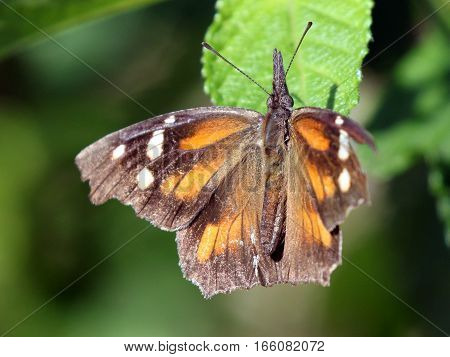 An American Snout Butterfly (Libytheana carinenta) with wings open