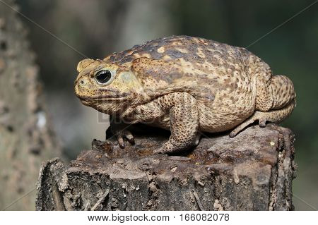 A huge Cane Toad (Rhinella marina) on a stump