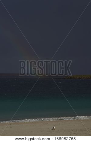 Magellanic Penguin (Spheniscus magellanicus) standing on a sandy beach illuminated against a dark sky and rainbow on Bleaker Island in the Falkland Islands.