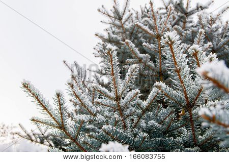 Branch of spruce tree with white snow. Winter spruce tree in the frost. Layer of snow on branches of spruce with hoar-frost. Fir-tree branches of conifer tree in snow for New Year.