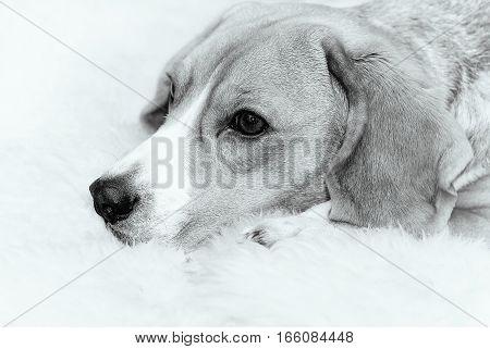 Portrait of Beagle dog at home, monochrome image