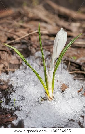 White crocuses growing up through the snow in early spring