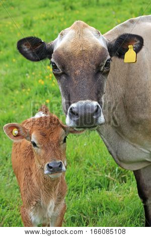 Cow and her calf in a field