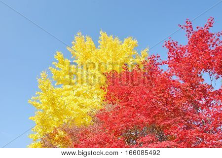 Yellow ginkgo and red maple trees with a clear sky in Japan