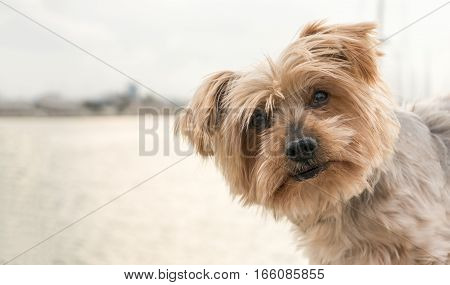 Dog face peeking from one side, surprised dog. Doggy with curiosity expression raising his ears. Hey what's up dog brown Yorkshire Terrier doggie. Blurry background