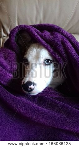 Beautiful white faced border collie in blanket