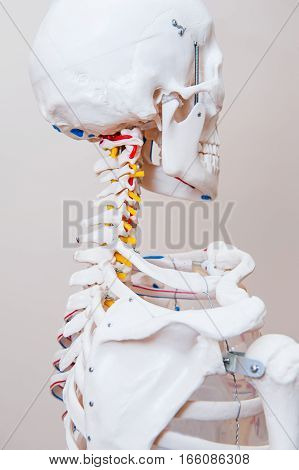 Close Up Human Skeleton Anatomical Model. Medical Clinic Concept. Selective Focus