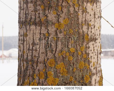 Yellow spots of a lichen on a poplar trunk