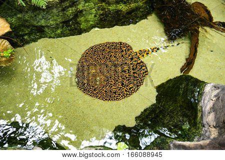 Freshwater Sting Rays of the family Dasyatidae