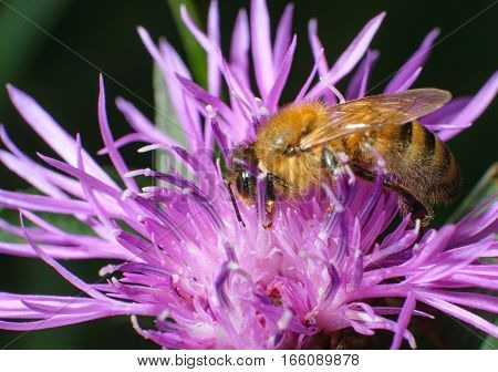 hardworking bee collects pollen on pink flowers