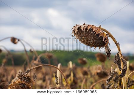 The mature full dry sunflower plant with seeds in the head sprouts on the field under the open sky. Before harvest.