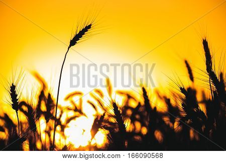 Spikelets of wheat close up on a background sunset. Harvesting.