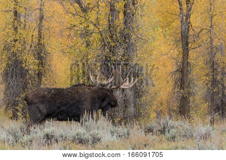 a bull shiras moose in the fall rut in Teton National Park Wyoming