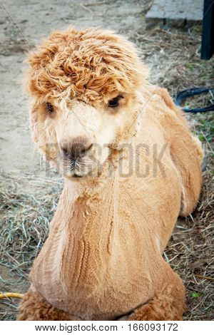 Shaved yellow Alpaca resting in the farm