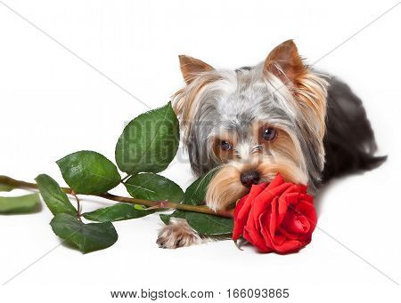 Yorkshire Terrier with red rose on white background