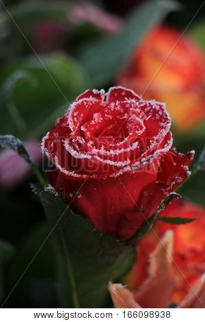 White hoar frost on a single red rose