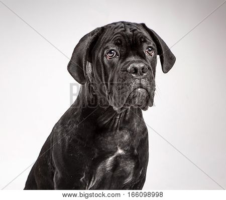 Cane corso puppy sits on a white background