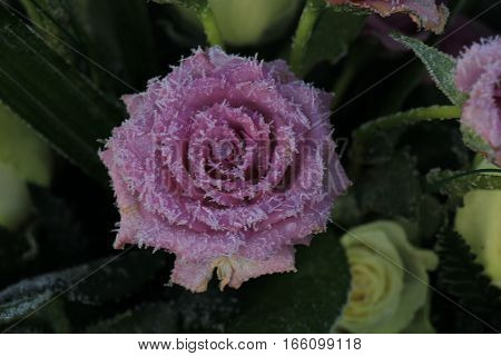 White hoar frost on a single purple rose